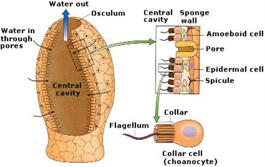 Porifera (Sponges) - Digestive system in phylums