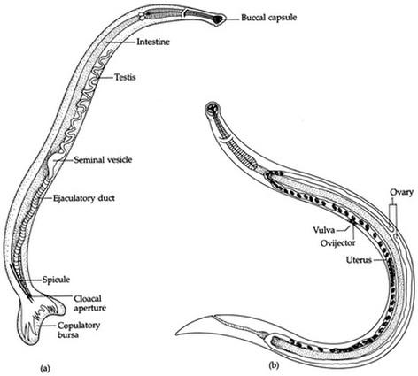 Nematoda (Nematodes) - DIGESTIVE SYSTEM IN PHYLUMS